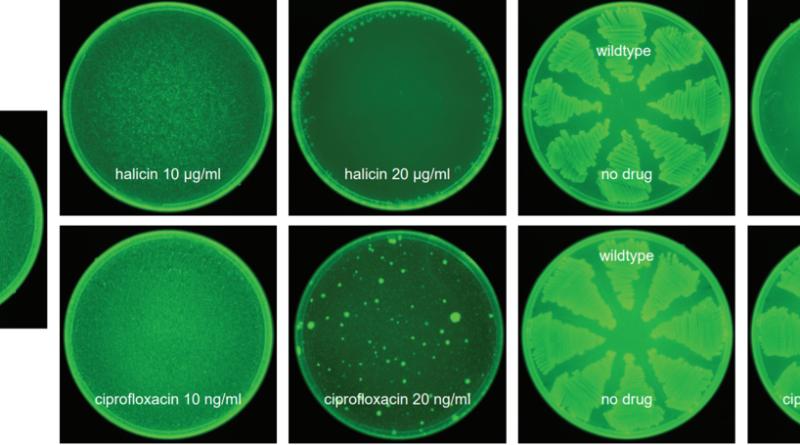 Evolution of spontaneous resistance against halicin (top) or ciprofloxacin (bottom). E. coli BW25113